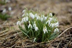 Perce-neige photos stock