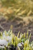 Perce-neige blancs dans le jardin Images stock