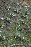 Perce-neige blancs frais dans le jardin au premier ressort Photos libres de droits