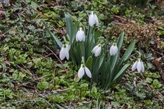 Perce-neige blancs frais dans le jardin au premier ressort Photo stock