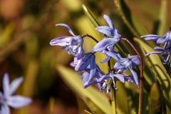 Perce-neige bleu au soleil Photographie stock libre de droits