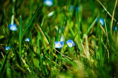 Perce-neige bleu en parc photo stock