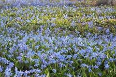 Perce-neige bleus, fond Photographie stock