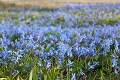 Perce-neige bleus, fond Images libres de droits