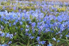 Perce-neige bleus, fond Images stock