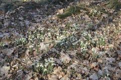 Perce-neige commun dans des feuilles de chute Photos libres de droits