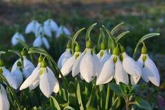 Perce-neige dans l'herbe, allumée par le soleil vers la fin de l'après-midi photos libres de droits