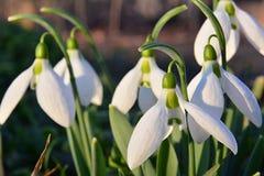 Perce-neige dans l'herbe, allumée par le soleil vers la fin de l'après-midi, détail image libre de droits