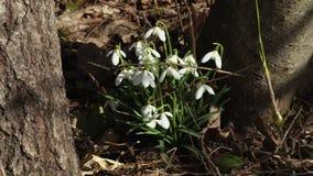 Perce-neige dans la forêt au printemps