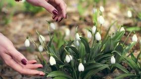 Perce-neige dans le plan rapproch? de for?t les mains femelles frottent de petits bourgeon floraux blancs Premi?re source banque de vidéos