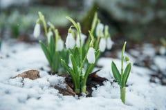 Perce-neige doux blancs dans la neige Photographie stock