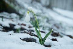 Perce-neige doux bleu dans la neige Photos stock