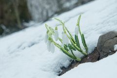 Perce-neige doux bleus dans la neige Photos libres de droits