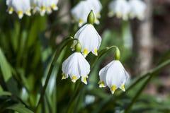 Perce-neige en mars Photo stock