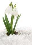 Perce-neige et neige Image stock
