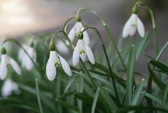 Perce-neige - les premières fleurs de ressort. Images stock