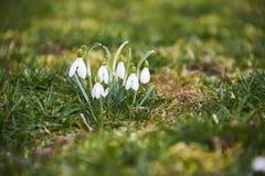 Perce-neige (nivalis de Galanthus) Photos libres de droits