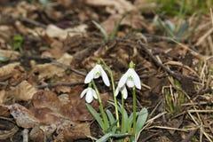 Perce-neige (nivalis de Galanthus) dans une forêt de zone inondable photographie stock libre de droits