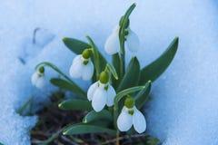 Perce-neige sur la neige Photographie stock libre de droits
