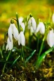 Perce-neige sur une pelouse au soleil Photographie stock libre de droits