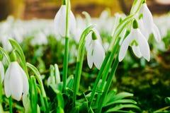Perce-neige sur une pelouse au soleil Images libres de droits