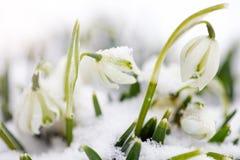 Perce-neiges Images libres de droits