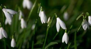 Perce-neiges de source Beaucoup de belles fleurs de perce-neige en nature Le groupe de perce-neige fleurit la floraison en ressor Photographie stock