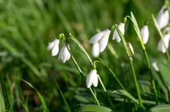 Perce-neiges de source Beaucoup de belles fleurs de perce-neige en nature Le groupe de perce-neige fleurit la floraison en ressor Photos libres de droits