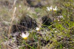 Perce-neiges de source Beaucoup de belles fleurs de perce-neige en nature Photo de ressort Image libre de droits