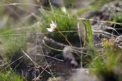 Perce-neiges de source Beaucoup de belles fleurs de perce-neige en nature Photo de ressort Photographie stock