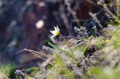 Perce-neiges de source Beaucoup de belles fleurs de perce-neige en nature Photo de ressort Photo libre de droits