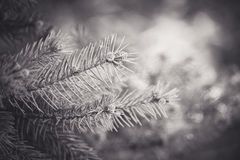 Perceive. Close up of pine tree branches Stock Photography