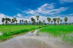Percelen, landbouwgrond, padievelden, nieuwe palmen en hemelachtergronden Stock Fotografie