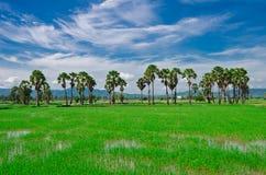 Percelen, landbouwgrond, padievelden, nieuwe palmen en hemelachtergronden Stock Afbeeldingen