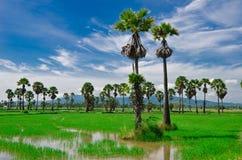 Percelen, landbouwgrond, padievelden, nieuwe palmen en hemelachtergronden Stock Foto's