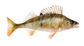 Perch. (Perca fluviatilis) fish isolated on white royalty free stock photography