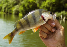 The perch. A summer perch fishing on the river royalty free stock images