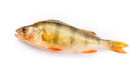 Perch. Fresh perch on a white background stock photo