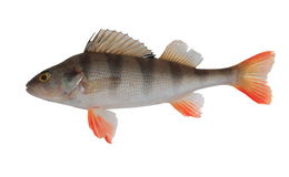 Perch. Striped river perch with the opened fins stock images