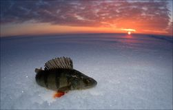 Perch. Just caught fish lies on snow in decline beams royalty free stock photos