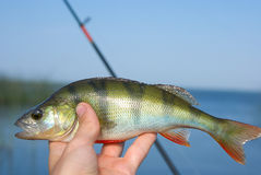 Perch. Here at last and the perch be caught for the bait royalty free stock image