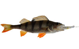 Perch Stock Photography