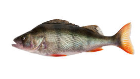 Perch Royalty Free Stock Images