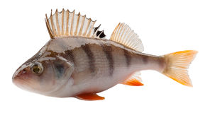 Perch Stock Photos