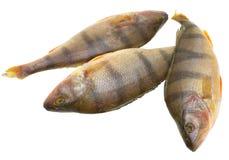 Perch. Fresh, frozen perch, fresh edible fish on a white background Stock Photos