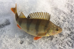 The perch. On an ice. Winter fishing stock image