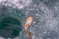 The perch above the hole in the ice. stock photography