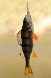 Perch with bait Royalty Free Stock Photos