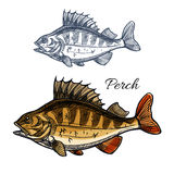 Perch or bass fish sketch for fishing sport design. Perch fish sketch. Bass freshwater predatory game-fish with spiny dorsal fin isolated symbol. Fishing sport Royalty Free Stock Image