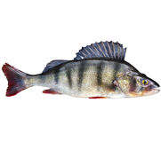 Perch, bass, freshwater fish. Isolated on white royalty free stock images